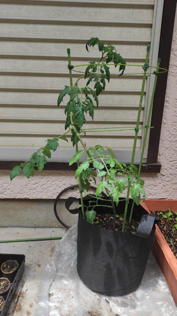 5月26の高濃度トマト。苗から育てています