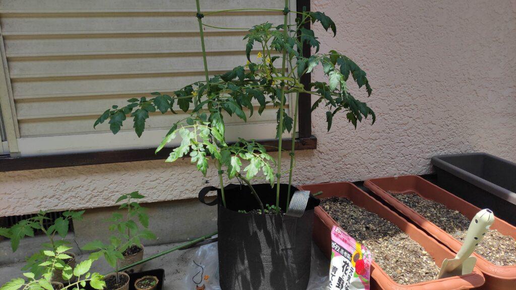 高濃度トマトの苗を育てています