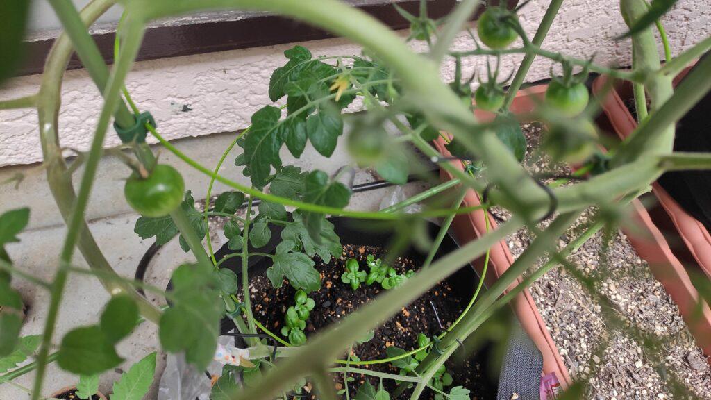 トマトと一緒にバジルを育てると、水ああのいらないトマトと、水分を欲するトマトで水分量を自分たちで調節してくれるので良いらしいです☆