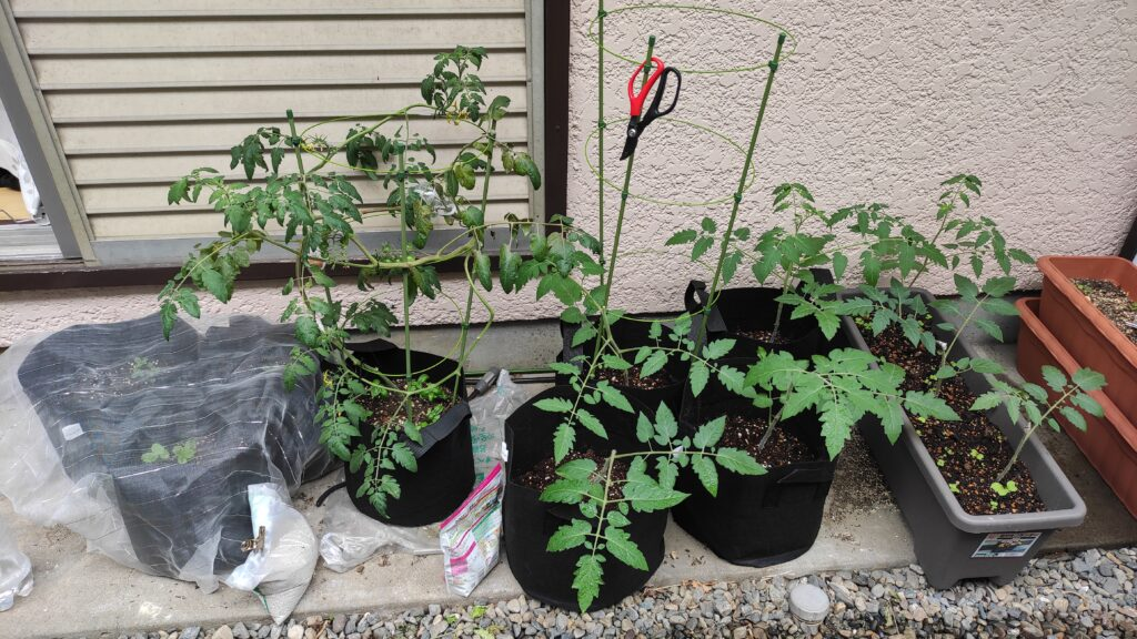 高濃度トマトとアイコの苗