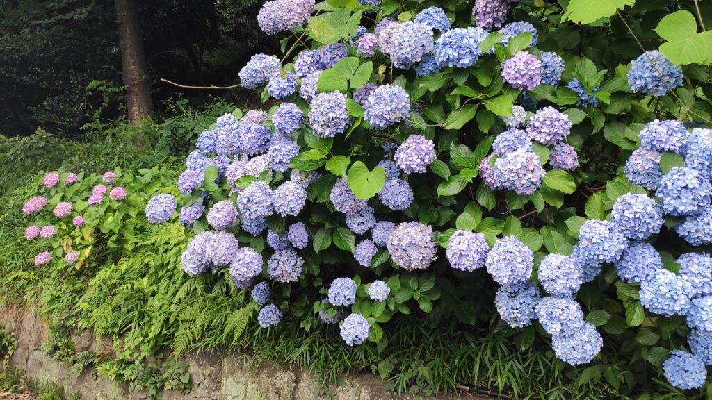 王子の飛鳥山公園の紫陽花