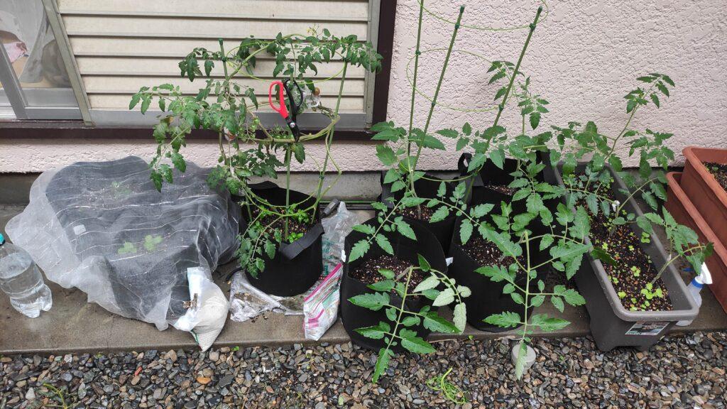 トマトを育てています